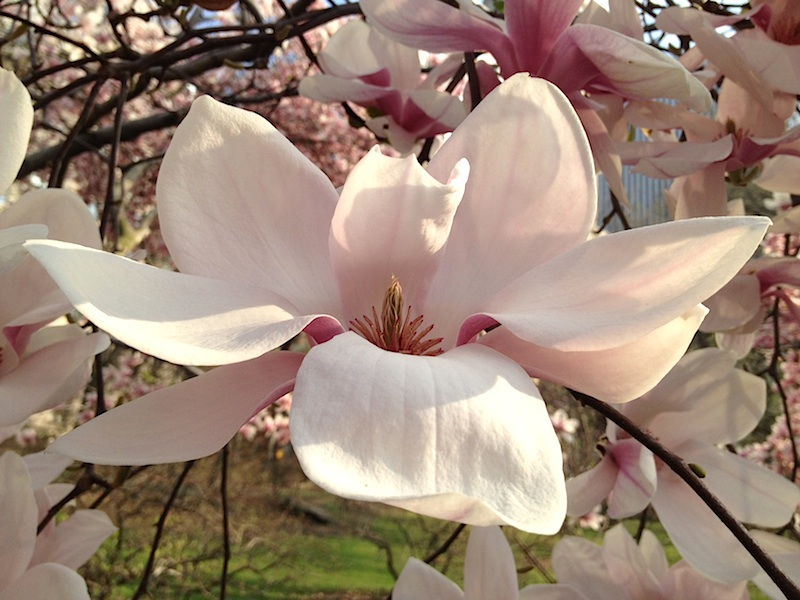 Magnolias in Central Park