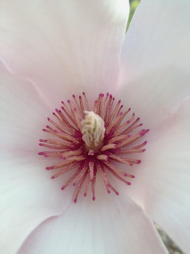 magnolia in full bloom. Central Park