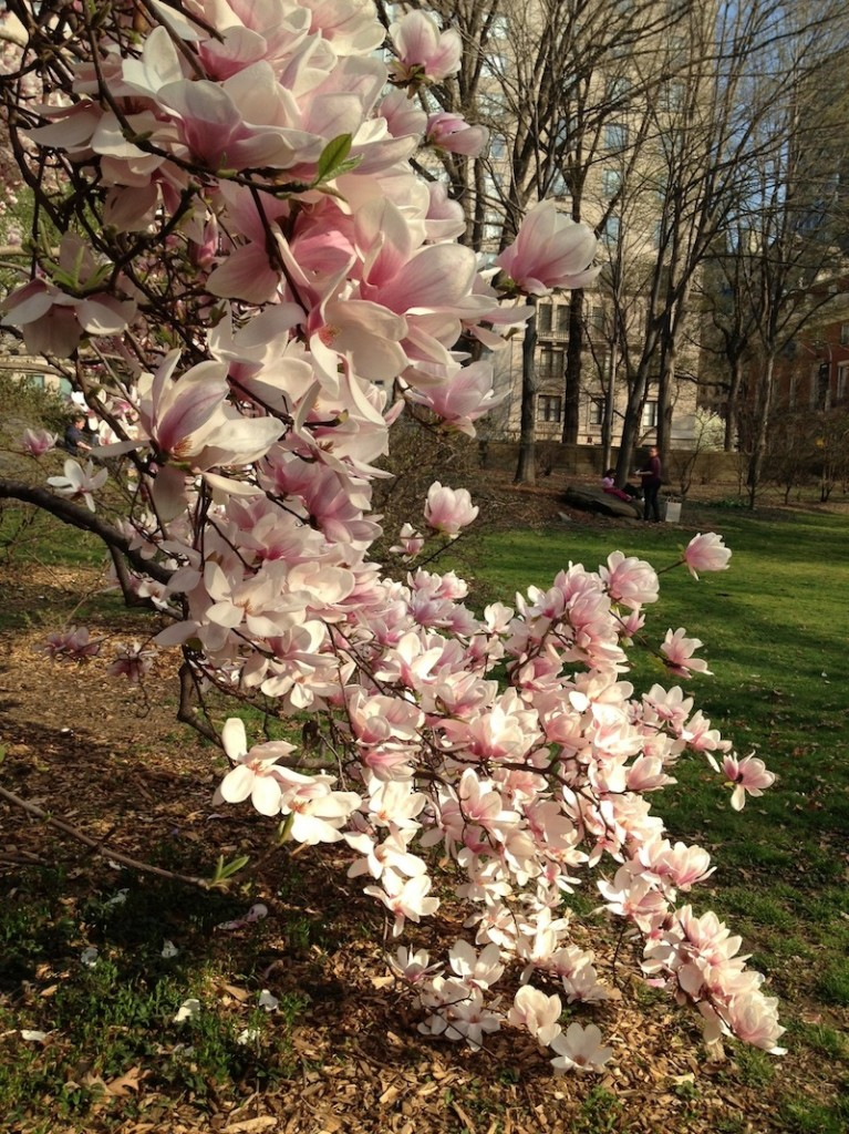 Magnolias blooming in Central Park. Spring
