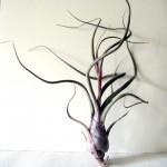 Tillandsia pseudobaileyi air plant