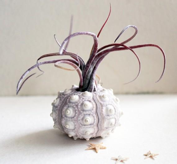 medusa urchin air plant