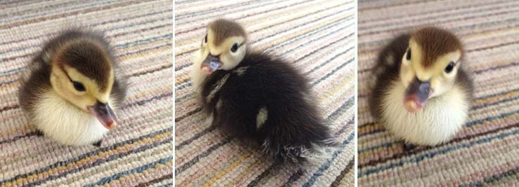 courageous new born duckling