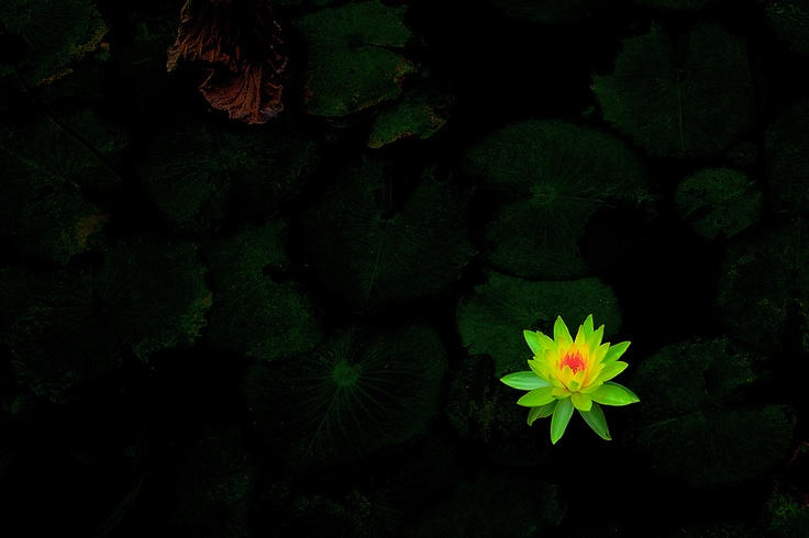 lotus glowing in the dark