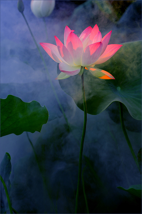 lotus luminous