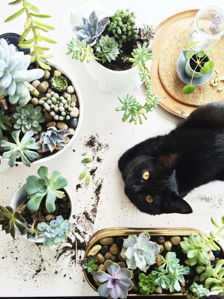 Succulents and black cat ♥ via ohnorachio in The Alchemy of Plants - awakening sacred flow